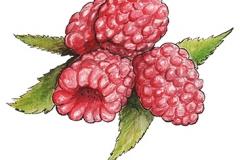 Framboos Illustratie