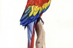 Papegaai Aquarel